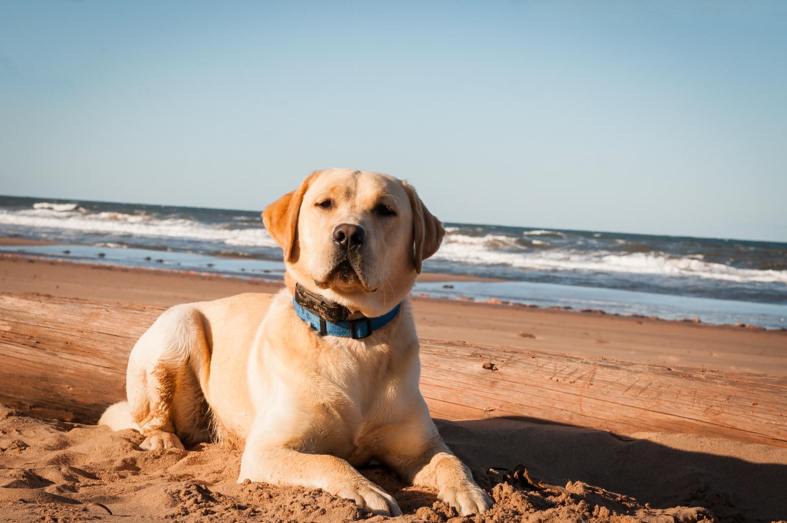 Trapper, Yellow Labrador Retriever