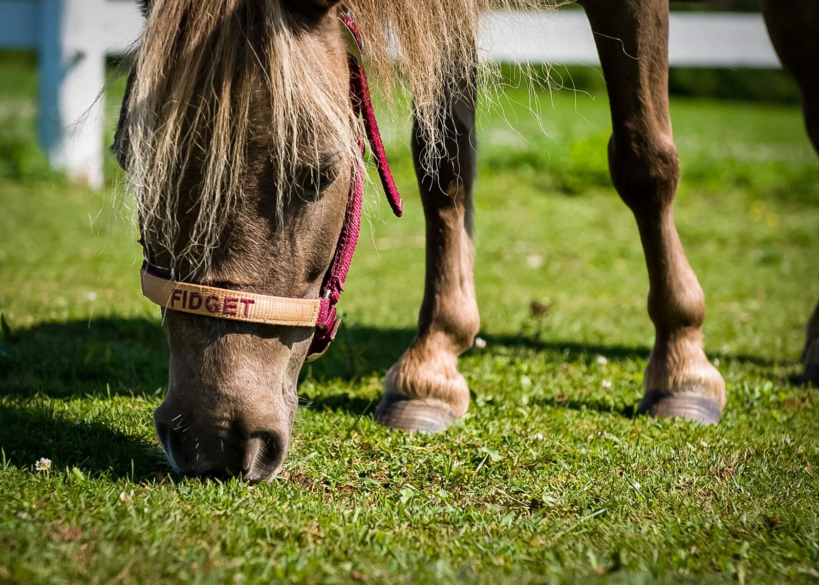 Mini Horse grazing