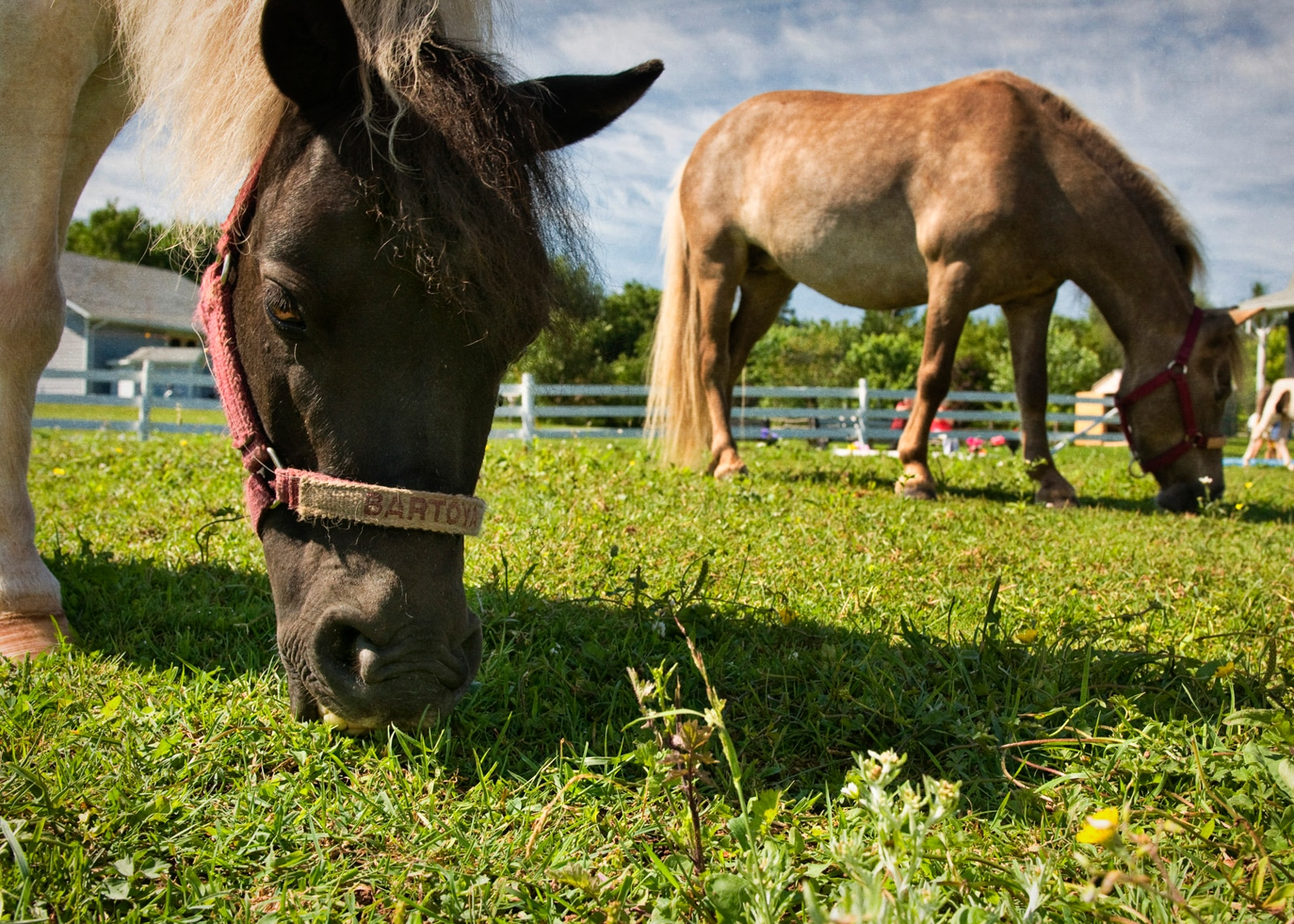 Mini Horses grazing