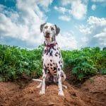 Linus the Dalmatian