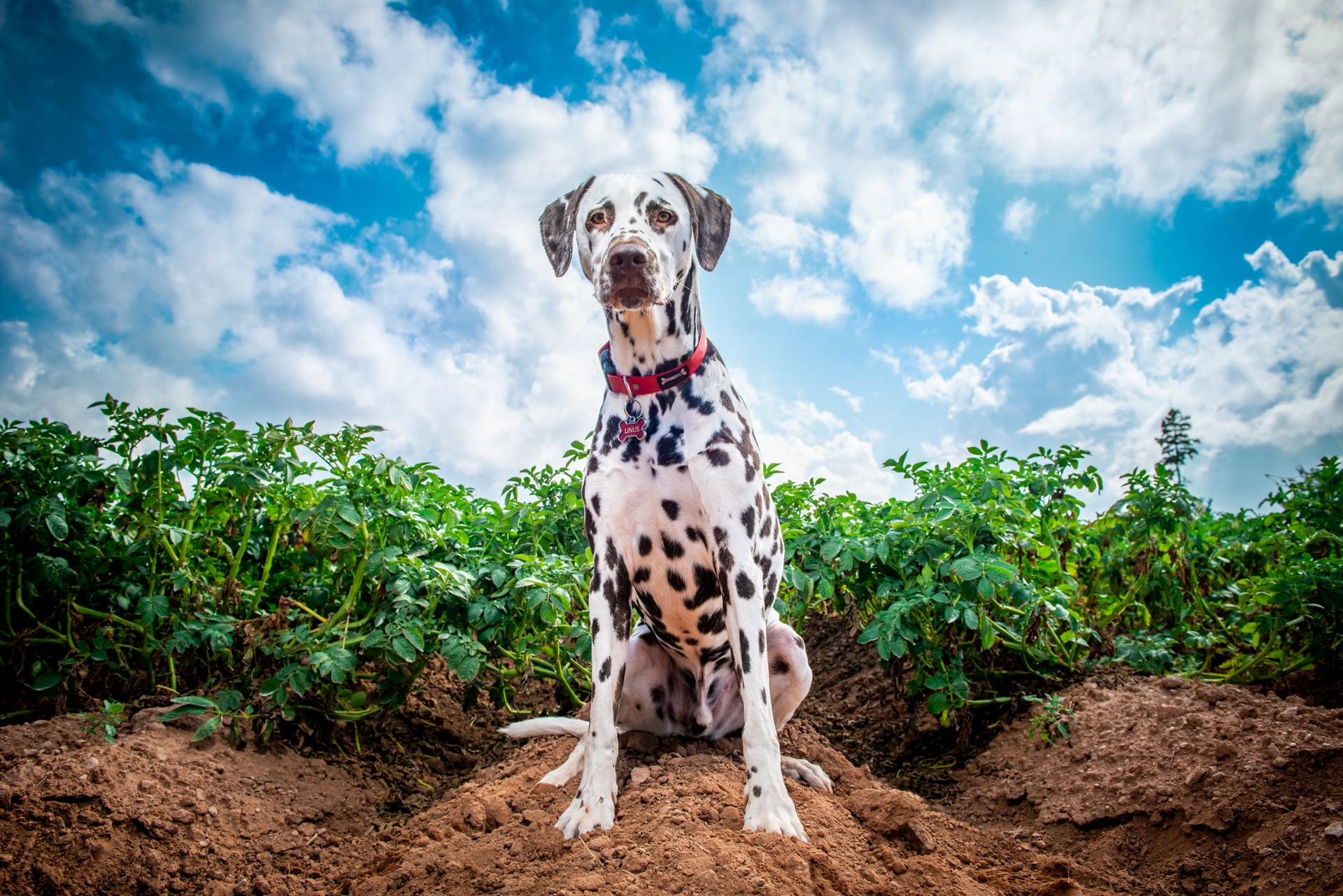 Linus the Dalmatian